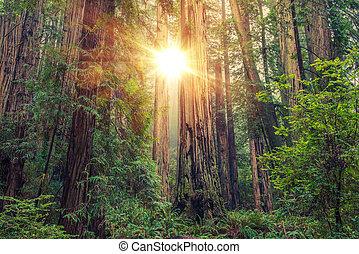 בהיר, יער של עץ הסיקוויה