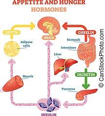 וקטור, הורמונים, תאבון, דוגמה, רעב, תרשים