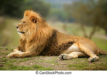 יפה, אריה, בעל חיים, פראי, דמות, זכר