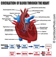 לב, דרך, דם, מחזור
