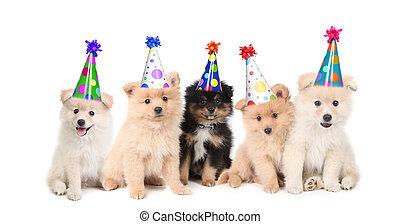 לחגוג, יום הולדת, חמשה, פומאראניאן, גורים