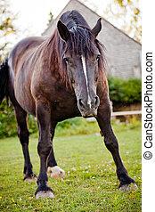 מוכן, סוס, התרגז, האשם, טבע