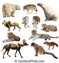 מעל, קבע, יונקים, טורפני, לבן