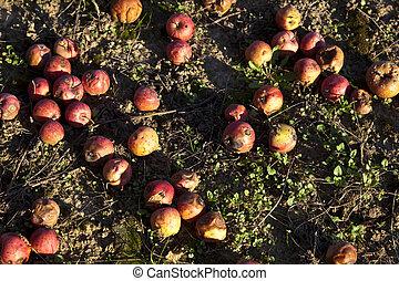 נשורת רוח, תפוחי עץ