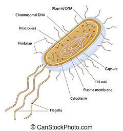 תא, של בקטריות, בנה