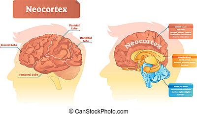illustration., neocortex, וקטור, כנה, functions., תרשים, מיקום