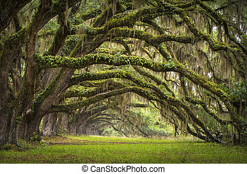 lowcountry, אלוף, נוף, אלון, עצים, מטע, חיה, יער, ס.כ., צ'ארלאסטון, אלונים, שדירה, כיור, דרום קרוליינה